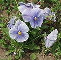 Viola wittrockiana Delta Light Blue.jpg