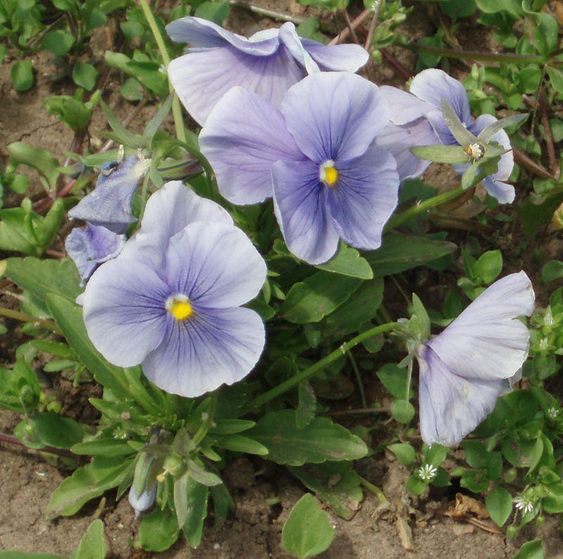 Viola wittrockiana Delta Light Blue.jpg