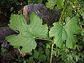Vitis vinifera subsp. sylvestris sl12.jpg