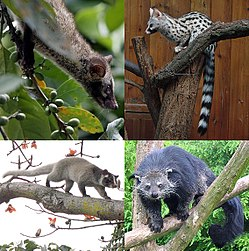 A mosaic of four small photos of viverrids in trees