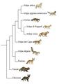 Vulpes phylogeny (ita).png