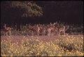 WILD DEER IN GARNER STATE PARK - NARA - 546232.tif