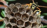 Wasp April 2008-2.jpg