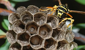 A young paper wasp queen (Polistes dominulus) ...