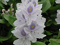 Water hyacinth flower.jpg