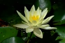 File:Water lily time-lapse.ogv
