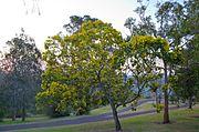 Wattle Tree.jpg