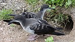 Wedge tailed shearwater.jpg