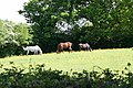 West Buckland, three horses grazing - geograph.org.uk - 174822.jpg
