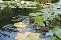 Westfalenpark-100818-17288-Gallinula-chloro.jpg
