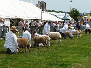 Devon County Show - Sheep judging at the 2010 show