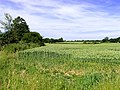 Wheat growing on farmland near Southfields - geograph.org.uk - 20800.jpg