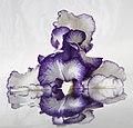 White-blue iris and reflection (27349755225).jpg