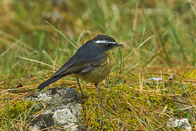 White-browed Bush-Robin - Taiwan S4E7041 (19357355252).jpg