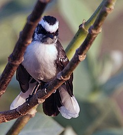 White-browed Fantail (Rhipidura aureola) at Sindhrot near Vadodara, Gujrata Pix 223.jpg