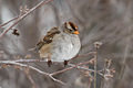 White-crowned Sparrow 4059.jpg