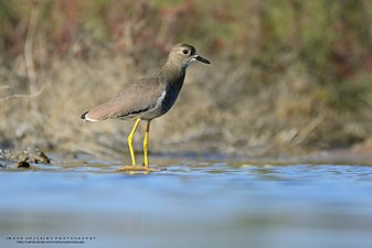 White-tailed lapwing, Multan,Pakistan.jpg