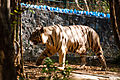White Tiger in Zoo.jpg