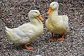White ducks (9917952154).jpg