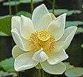 White lotus, Mauritius.jpg