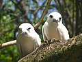 White tern.jpg