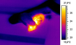 Thermographic image of a snake eating a mouse.