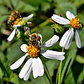 Wild Honey Bees (13284206695).jpg