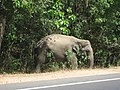 Wild elephant by the road (7568421718).jpg