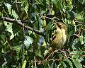 Willow Warbler posing (9635370261).jpg