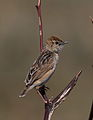 Wing-snapping cisticola, Cisticola ayresii, at Suikerbosrand Nature Reserve, Gauteng, South Africa (22023639283).jpg