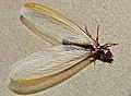 Winged Termite (= Alate) (Macrotermes mossambicus ?) (12618469443).jpg