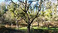 Winter Mistletoe,WWT Knapp Reserve (31288730683).jpg