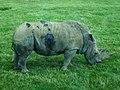 Woburn Safari Park - Rhino - geograph.org.uk - 908989.jpg