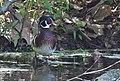 Wood Duck (33898032794).jpg