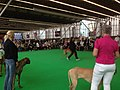 World Dog Show, Amsterdam, 2018 - 13.JPG