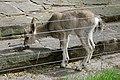 Wuppertal - Zoo - Capra sibirica 01 ies.jpg