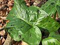 XN Arum maculatum.jpg