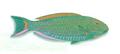 XRF-Cetoscarus bicolor.png