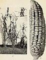 Xenia, or the immediate effect of pollen, in maize (1900) (14773021885).jpg
