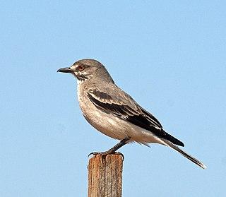 Grey monjita Species of tyrant flycatcher bird found in South America