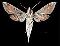 Xylophanes robinsonii MHNT CUT 2010 0 181 Miramar (La Habana), male ventral.jpg
