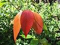 Xylosma hawaiiense (5436868049).jpg