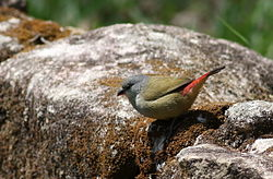 Yellow-bellied waxbill, Estrilda quartinia, Vumba National Botanical Garden, Zimbabwe (21655564689).jpg