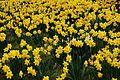 Yellow-daffodil-flowers - West Virginia - ForestWander.jpg