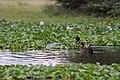 Yellow Billed Ducks (7514570520).jpg
