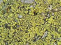 Yellow Map Lichen (991234200).jpg