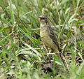 Yellow Wagtail at Kolkata I Picture 272.jpg