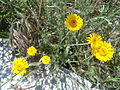 Yellow flowers in Rome 03.JPG