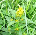 Yellow loosestrife - Lysimachia vulgaris - Flickr - Mick E. Talbot.jpg