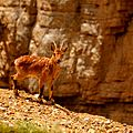 Young ibex.jpg